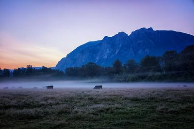 Mt Si Sunrise Cattle in Summer Mist 7-27-18