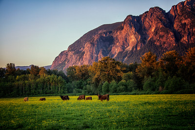 Mount Si Pasture Cattle Buttercups Golden Hour