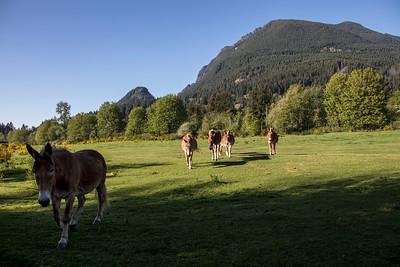 Brown Mules Mt Si Spring Afternoon