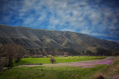 Yakima River Canyon Cattle Wildflowers foreground 3-28-15 - Copy