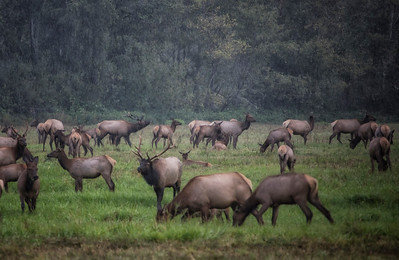 Elk Herd Large Bulls Strutting