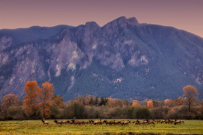 Mt Si Early Morning Meadowbrook Farm Fall Elk Herd