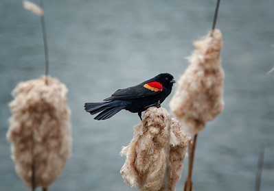 Red Wing Blackbird on Bullrush