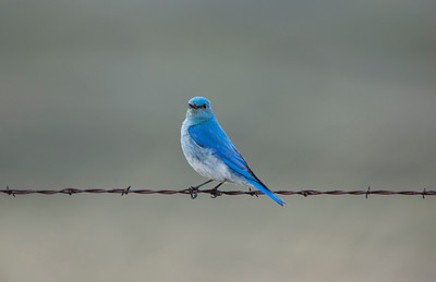 Mountain Bluebird Barbed Wire
