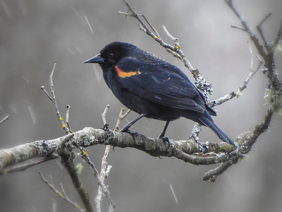 Red Wing Blackbird on Branch