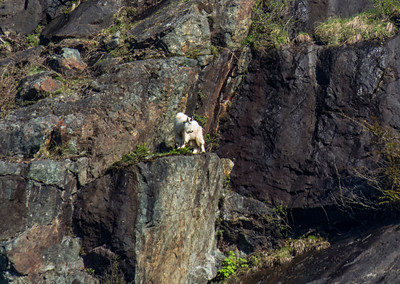 Billy Goat Considering a Jump