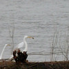 egret with fish and heron watching