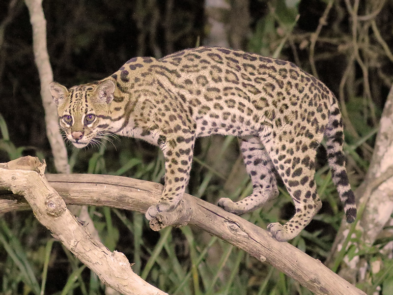 20Sep19a Pantanal 729