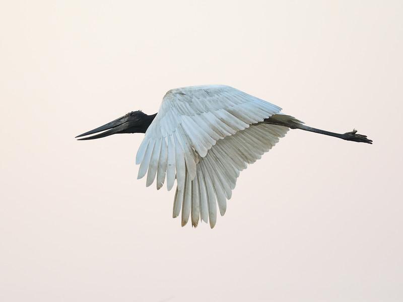20Sep19a Pantanal 455