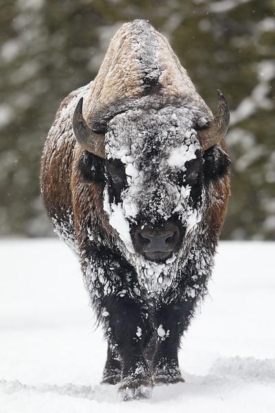 8Feb20a Yellowstone 084