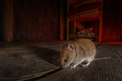 The bank vole ( Myodes glareolus )