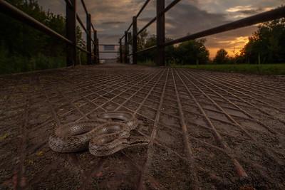 Smooth snake Coronella austriaca