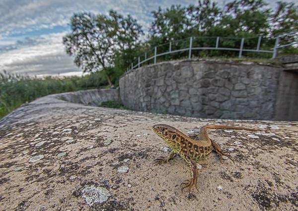 The sand lizard (Lacerta agilis)