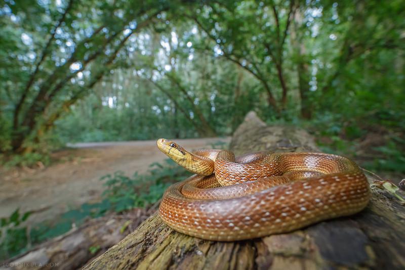 Aesculapian snake ( Zamenis longissimus )
