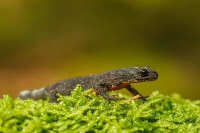 Alpine newt ( Ichthyosaura alpestris) / Mlok horský