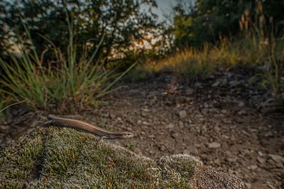 Snake-eyed skink -( Ablepharus kitaibelii )