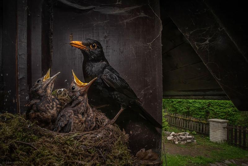 The common blackbird (Turdus merula)
