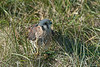 American Kestrel on the ground