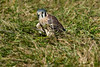 American Kestrel mantling over his food