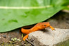Eastern Red-spotted Newt...........to purchase print or digital file e mail DFriend150@gmail.com