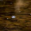 Peeper frogs