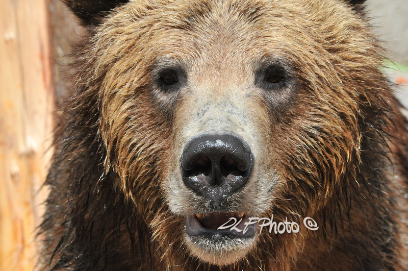 Brown bear portrait....................................................Prints or digital files can be purchased by e mailing DFriend150@gmail.com
