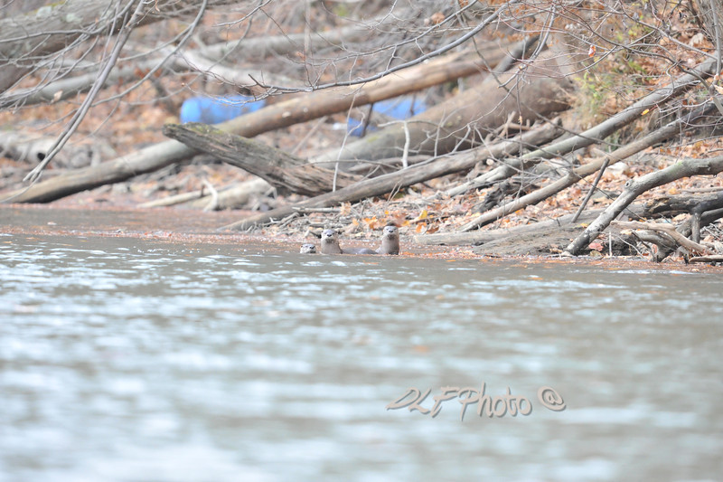 Sea Otters on Cheat Lake.........................                              Prints or digital files can be purchased by e mailing DFriend150@gmail.com