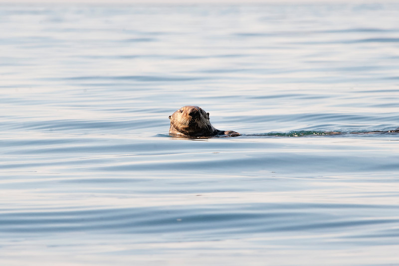 Sea otter looiking...........................................Prints or digital files can be purchased by e mailing DFriend150@gmail.com