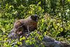 Marmot on a rock