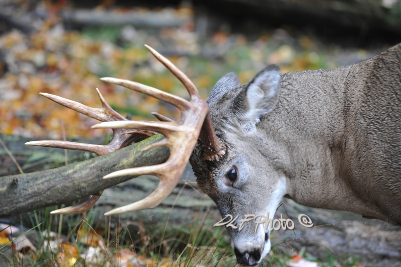 Buck deer rubbing his antlers.                                                                              .                                                                 Prints or digital files can be purchased by e mailing DFriend150@gmail.com