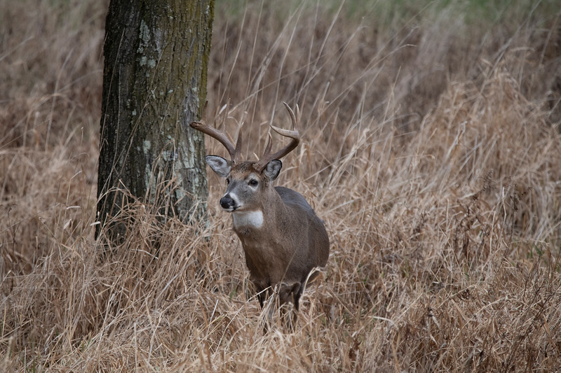 Whitetail buck in the grass looking