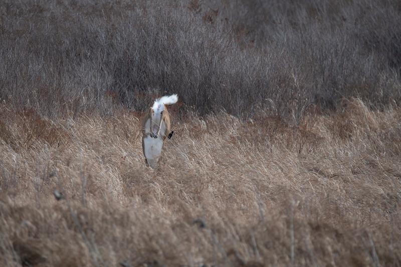 Whitetail doe landing after jumping high