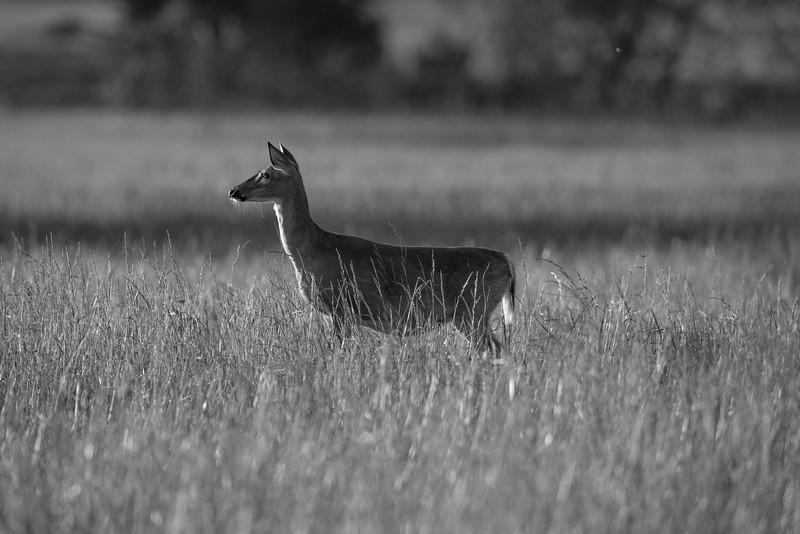 White tail deer evening light