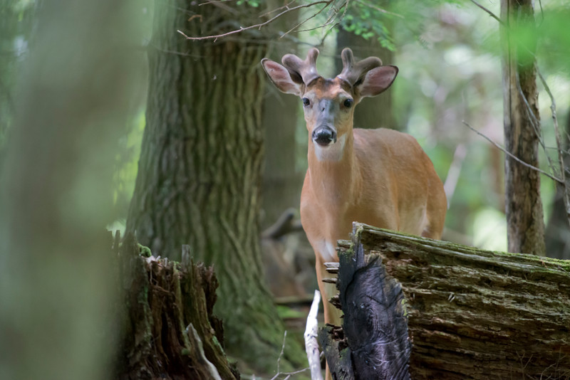 Whitetail buck with velvet on his antlers