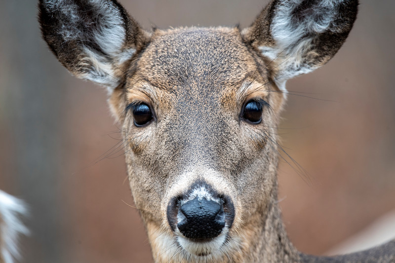 Close up of whitetail doe