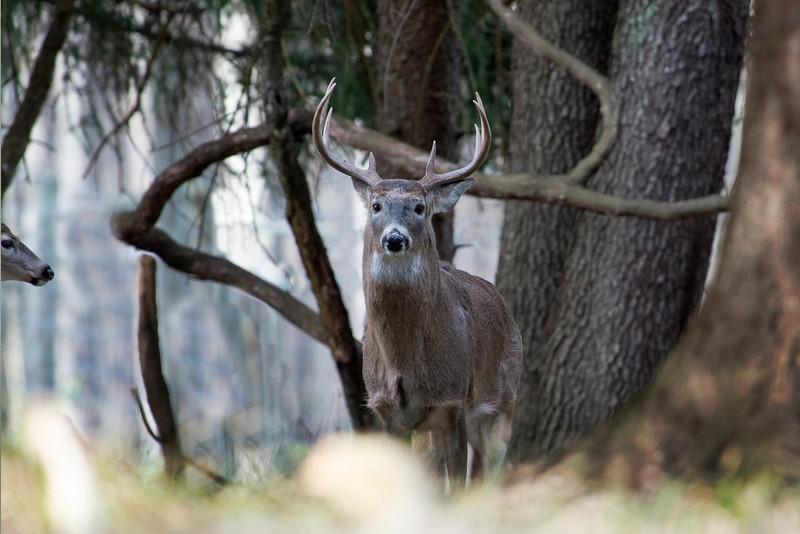 Big buck in the woods