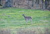deer, whitetail deer, white tail .                                                                              .                                                                 Prints or digital files can be purchased by e mailing DFriend150@gmail.com