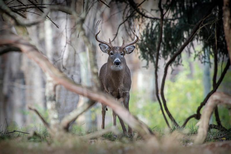 Buck looking straight back