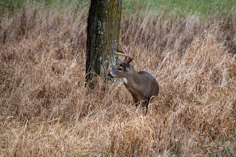 Whitetail buck in the grass
