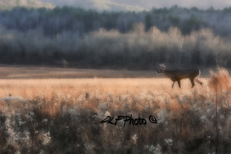 White Tail buck early morning in field