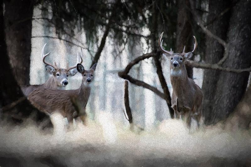 Two bucks and doe looking