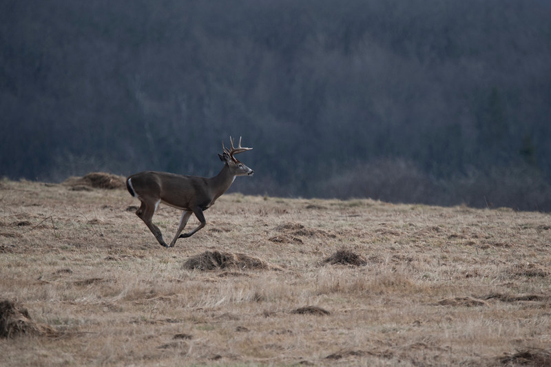 Whitetail buck running in a field