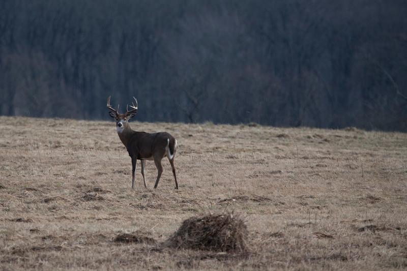 Whitetail buck in field looking back