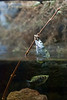Archer fish jumping out of the water to prey on insect