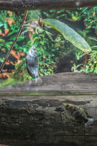 Archer fish jumping to eat a cricket off a leaf