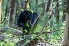 Black bear eating leaves on a log on the forest floor