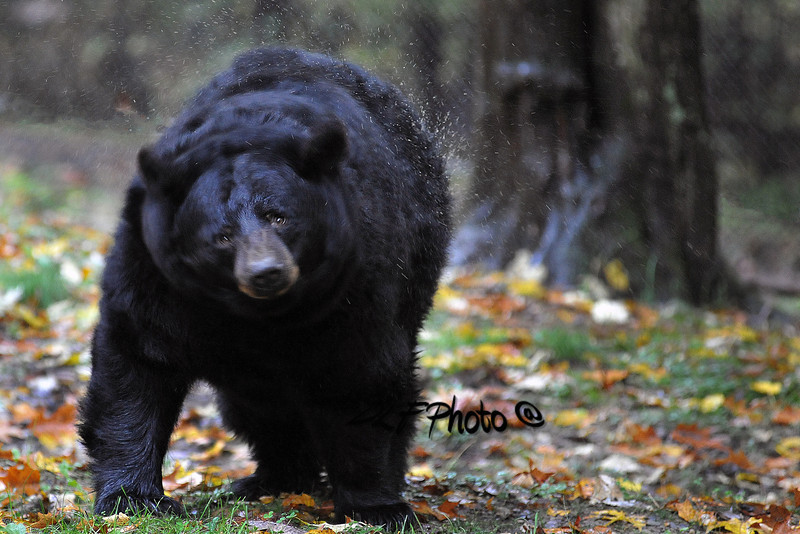 black bear shaking water -''''''' 10122011x1178xxx .     .....................................                         .                                  Prints or digital files can be purchased by e mailing DFriend150@gmail.com