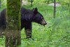 Black bear n the wild