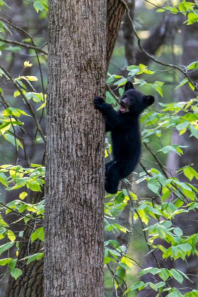 Black bear cub mouth open climbing up tree trunk