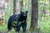 Large black bear sniffing the air checking for danger